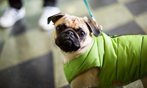 pet owner walking jacket clad pug